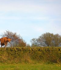cow-autumn-werneth-low-hyde-violet-skies