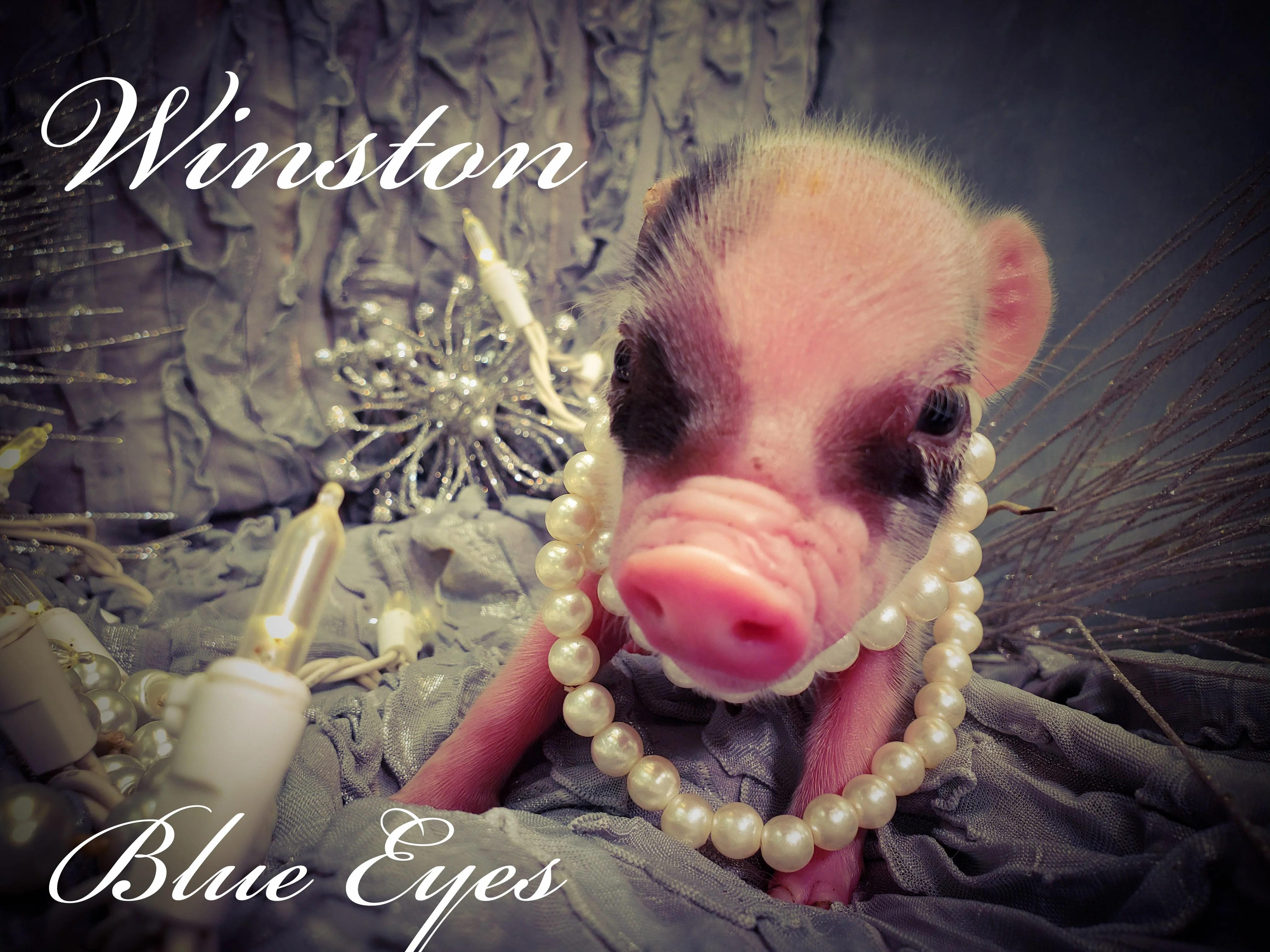Adoption Mini Pet Pigs