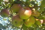 Ocet jabłkowy z moich ogrodowych jabłek
