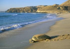 An einzelnen Stränden legen Meeresschildkröten ihre Eier ab. Foto Copyright: Ministry of Tourism, Sultanate of Oman