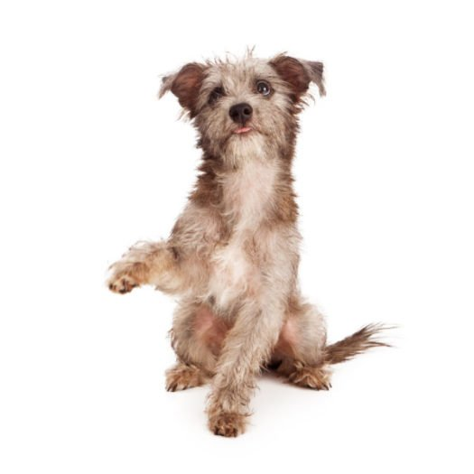 Small Dogs For Sale Small Dog Breeds For Sale Vip Puppies