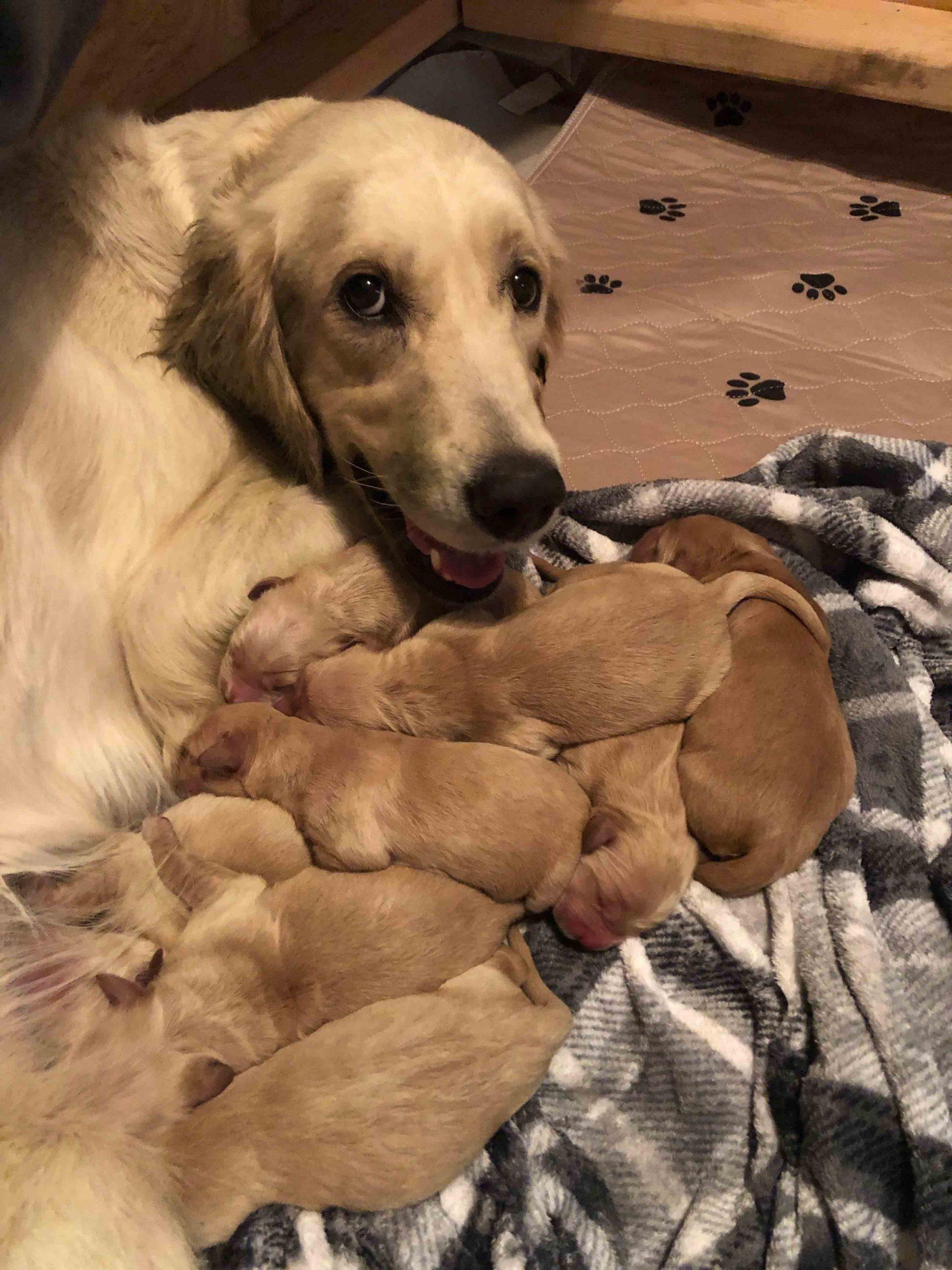 Retriever Puppies For Sale Near Me : retriever, puppies, Golden, Retriever, Puppies, Mesa,, Arizona
