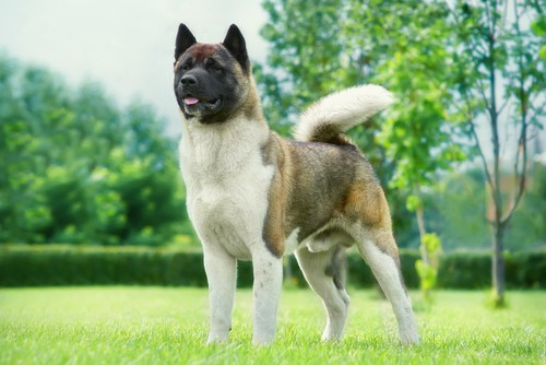 Most Dangerous Dog Breeds In The World 3