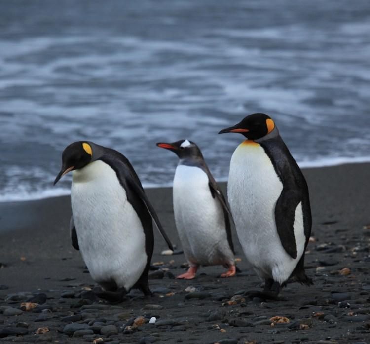 1-penguin
