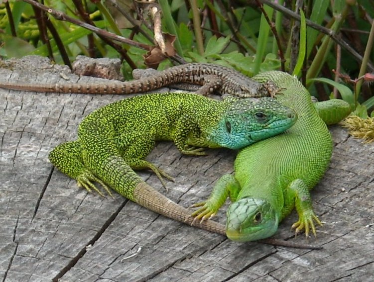 6-european-green-lizard-lacerta-viridis