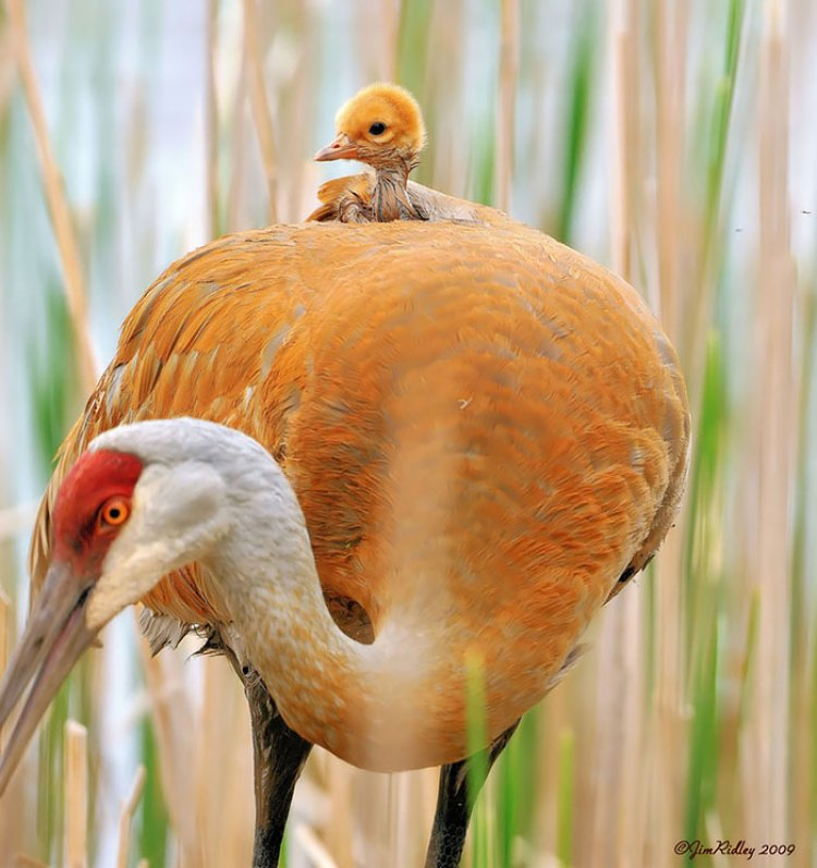 pictures-of-birds-with-their-little-onesv