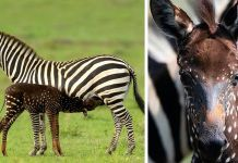 It was a rare polka dot baby zebra which won the hearts of everybody