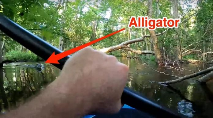 A deadly incident; Peter Joyce was on Waccamaw River for the first time; He faced an alligator attacked while he was paddling his kayak.