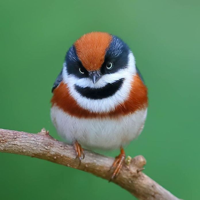 This Bird Is Called The Black-Throated Bushtit