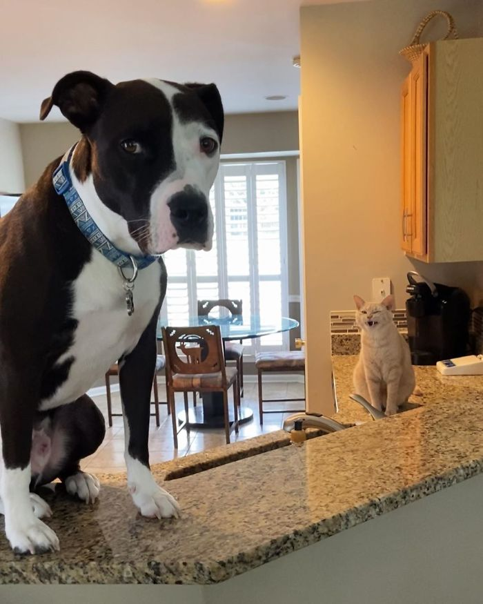 Pit Bull Thinks He's A Cat