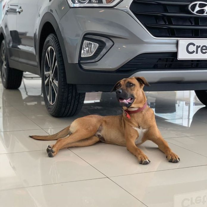 Stray Dog Keeps Visiting A Hyundai Dealership, They Give Him A Job And His Own Badge