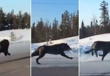 Woman Films Two Giant Wolves Running Alongside Her Car On Highway