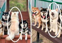 photobombing Dog Funny Dog Pic Shiba Inu