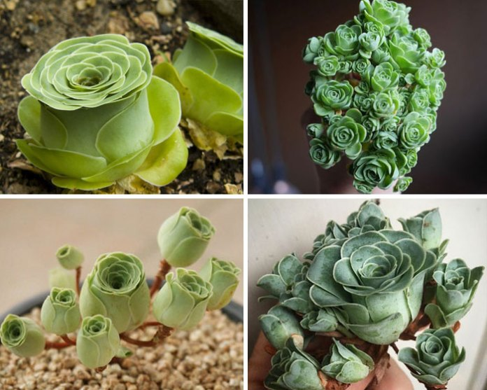 30 Types Of Succulents That Look Like Something Out Of This World