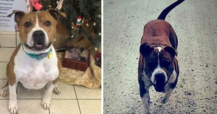 Stolen Pit Bull Found 2,000 Miles Away Returns Home For Christmas With The Help Of 15 Volunteers