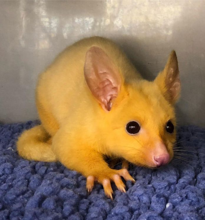 Australian Veterinary Clinic Rescues A Rare Golden Possum, People Say They Just Caught A Pikachu