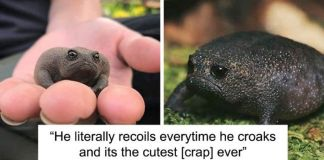 African Rain Frogs That Look Like Angry Avocados
