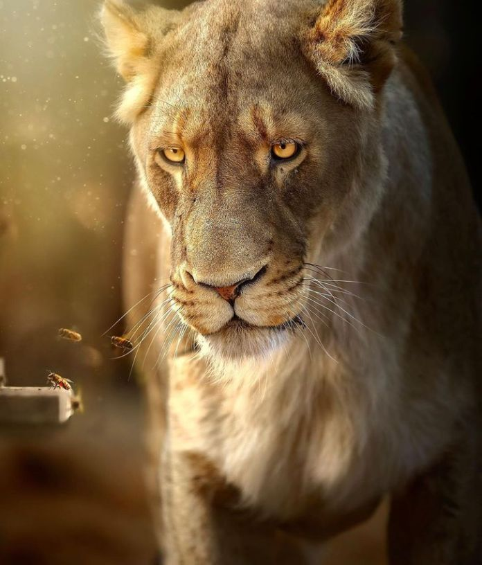 Wildlife Photographer Immortalizes the MAJESTIC BEAUTY of a White Lion From All Angles