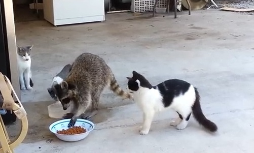 Raccoon Steals Cat Food Cutest Thief Ever  ViralSlot