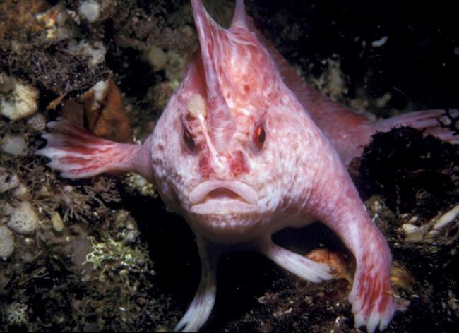 السمكة الوردية ذات اليد