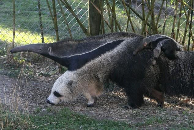 miereneter die op panda lijkt