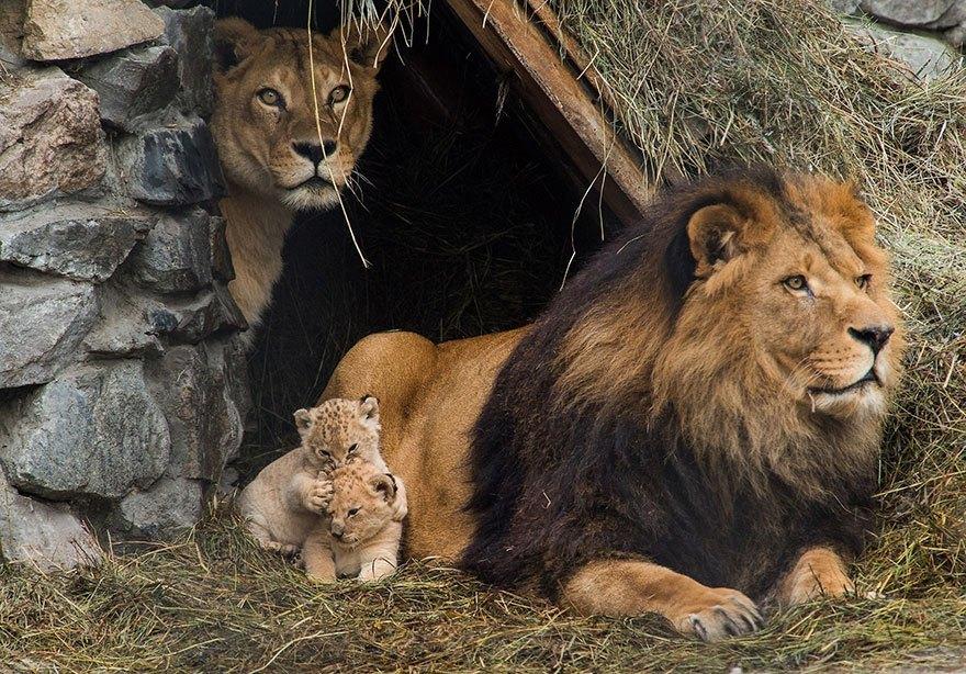 Leeuw, leeuwin en welp