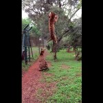 Springende Siberische Tijger