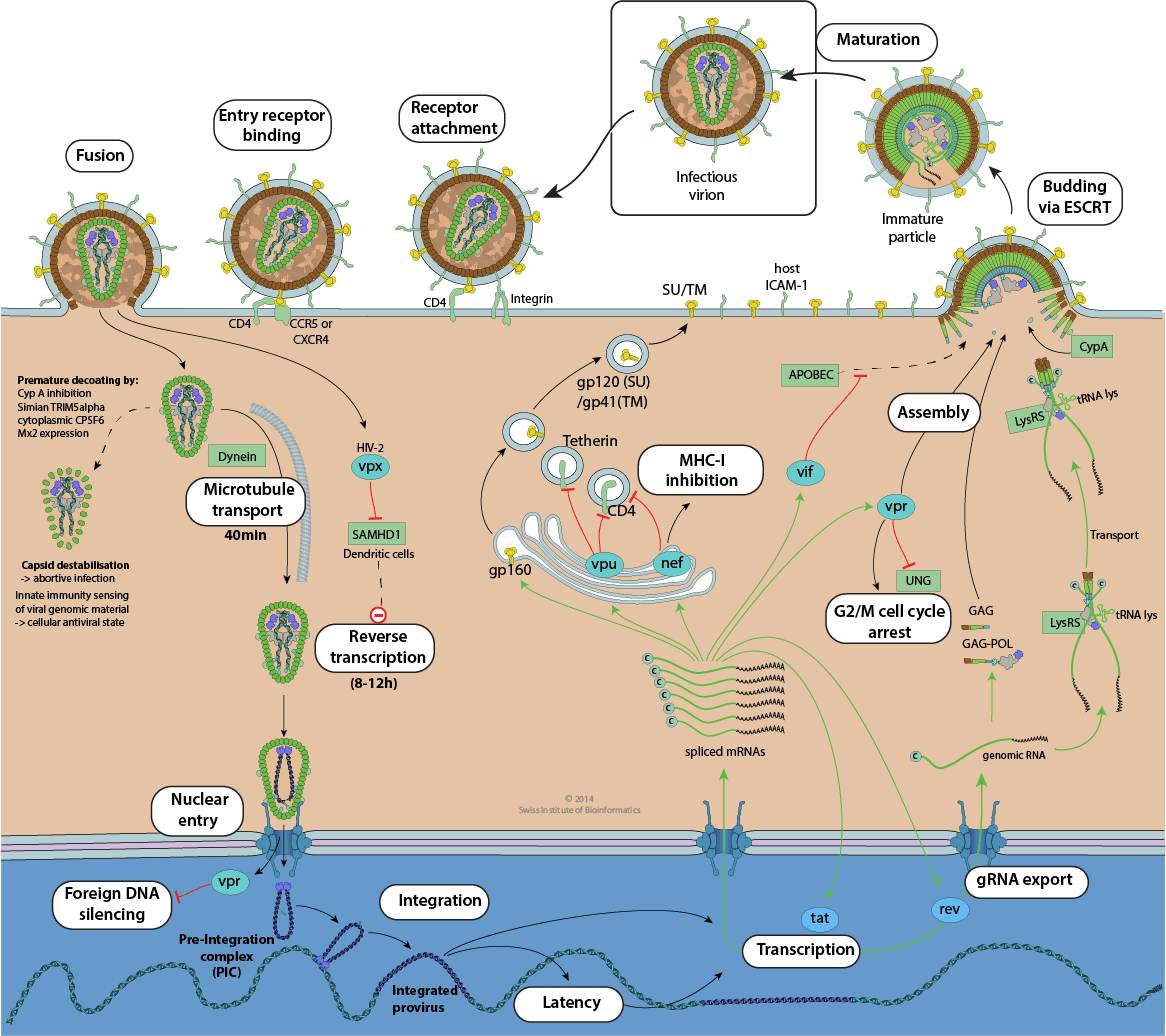 hight resolution of hiv replication cycle