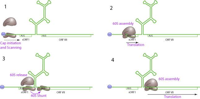shunt motor wiring diagram echo chainsaw cs 346 parts ribosomal