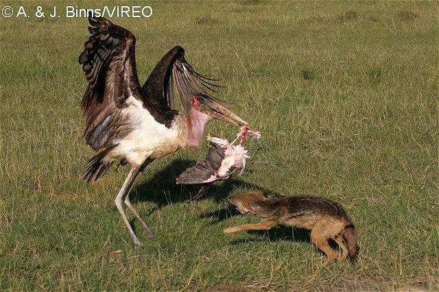 Marabou Stork b522419jpg