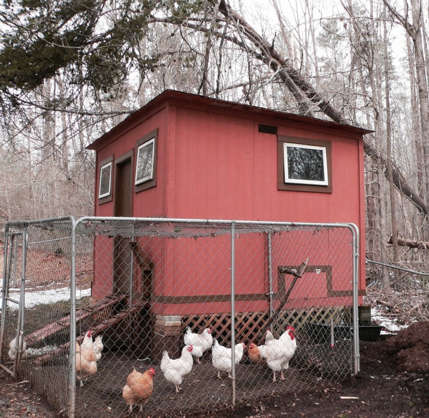 The chickens appear to be ignorant of their plight...