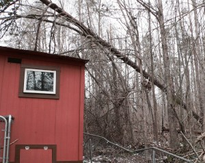 This is a very large, and heavy pine tree that could have smashed through the roof of the chicken coop, if it hadn't been for the surrounding trees that caught it in their arms.