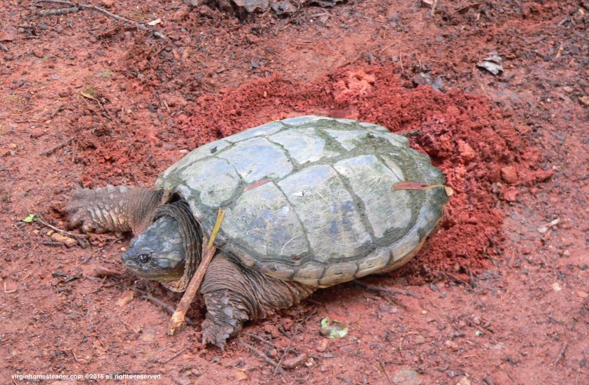 snappingturtle