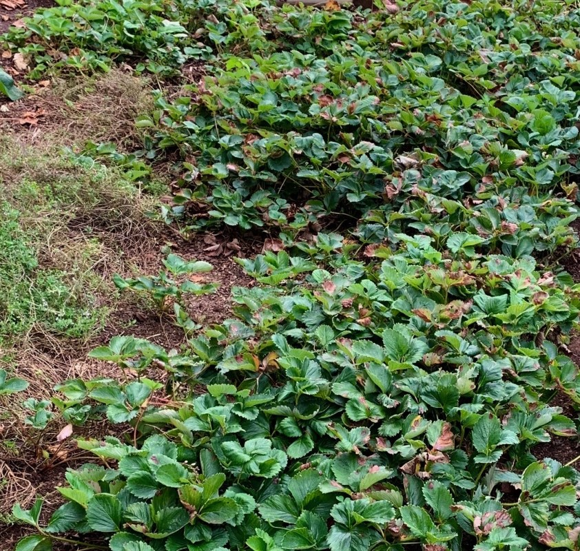 A tangled mass of strawberry plants and mother of thyme after a couple of months of inattention.