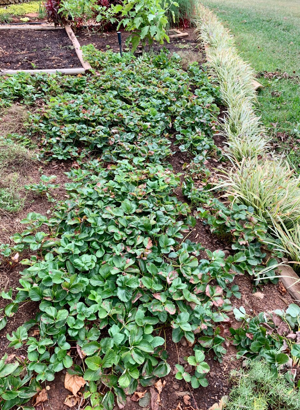 A strawberry patch in a garden.