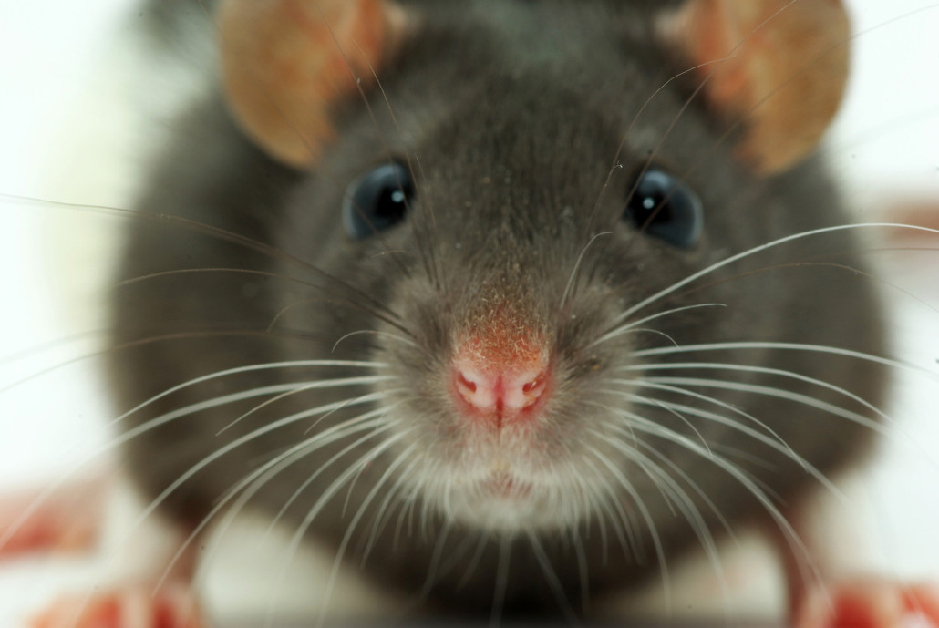 Rat Diseases, How To Keep Your Family Safe From Rat Diseases - VA