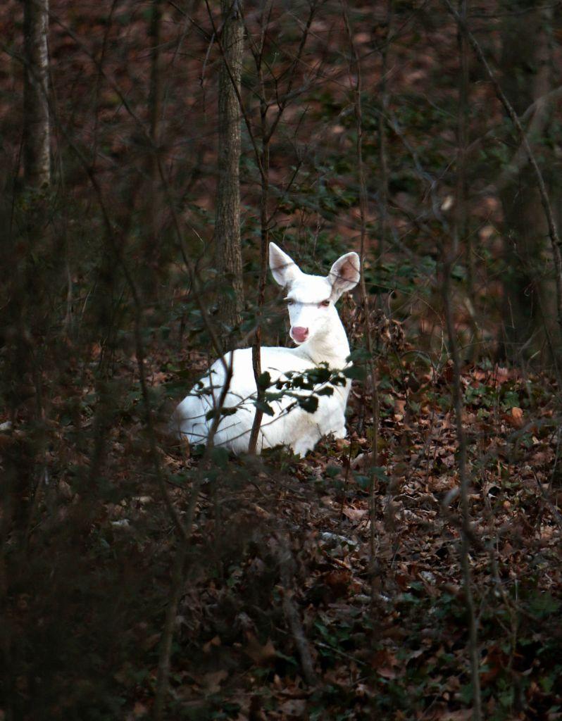 White deer around charlottesville genetic anomaly or spirit animal white deer buycottarizona Images