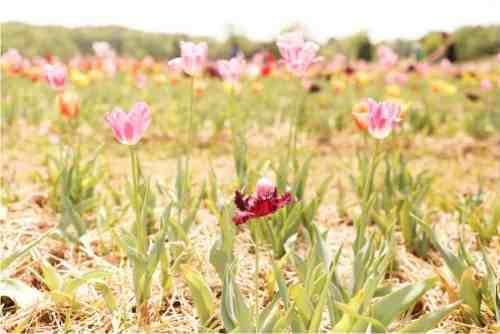 tulip field burnside farms
