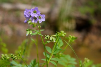 Flowers of Jacob's ladder