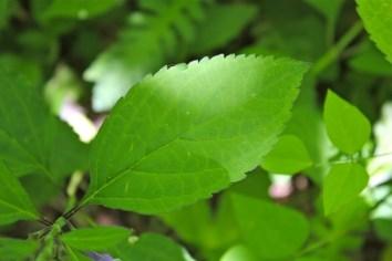 Showy Skullcap leaf