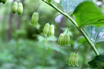 Cultivated Solomon's Seal