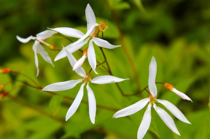 Bowman's Root: five irregularly-arranged white petals