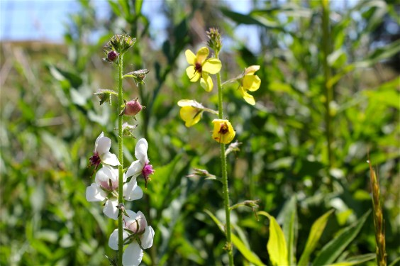 white and yellow moth mullein