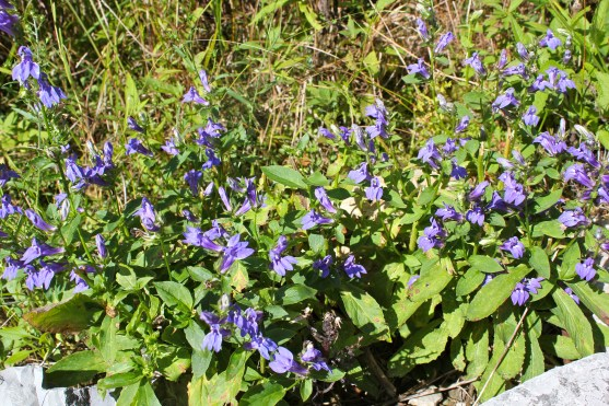 Great blue lobelia is often browsed by deer, resulting in shorter, branched plants