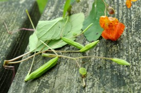 seedpods of jewelweed or touch-me-not