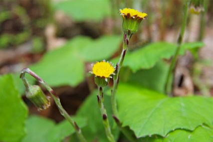 Coltsfoot later in the spring