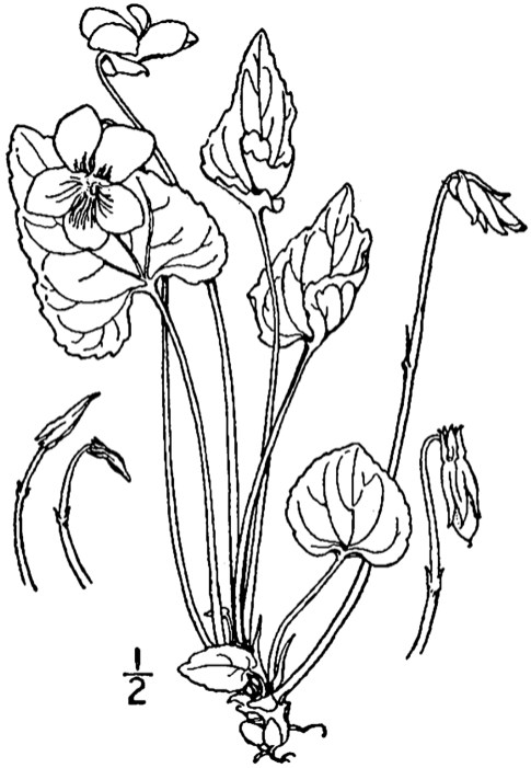 Line Drawing Violet : Blue flowers page virginia wildflowers