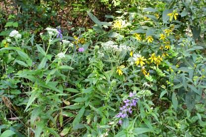 boneset in bloom along with blue lobelia, knapweed, and crownbeard