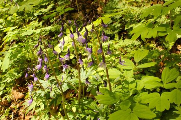 A mass of Delphinium growing along side Blue Cohosh