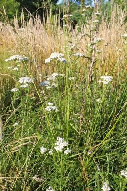 Yarrow in the field